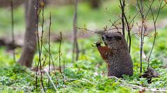 L'heure du lunch (EXPLORE) (www.sophiethibault.ca) Tags: 2018 mai récréoparc stecatherine nature marmotte animal québec canada