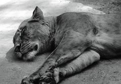 Peaceful (frankdorgathen) Tags: schlafen sleeping monochrome schwarzweiss schwarzweis blackandwhite wuppertal zoo tier animal löwe lion löwin lioness
