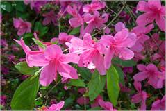 In The Pink (Mabacam) Tags: 2018 london richmond richmonduponthames richmondpark park garden nature outdoor spring shrubs isabellaplantation flowers blooms colour azaleas pink