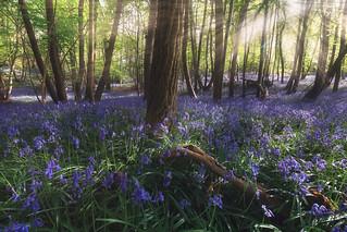 Les jacintes des bois / Bluebell