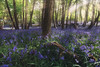 Les jacintes des bois / Bluebell (jonathan le borgne) Tags: forest trees ray light colors bluebell jacinthes flower flowers fleurs morning forêt woods nature zen peace smell green spring printemps douceur odeur sunlight sun landscape