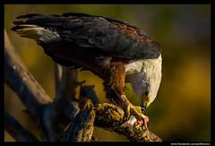 Beauty of The Nature (asifsherazi) Tags: africanfisheagle tumbilicliff lakebaringo asifsherazi kenya wildlife prey eagle eatingfish pakistaniwildlifephotographer wild