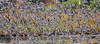 Bar-tailed Godwit 48 (Black Stallion Photography) Tags: bartail godwit bird wildlife newzealand nzbirds flock flight open wings blur black stallion photography igallopfree