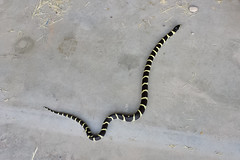 Garage visitor (twm1340) Tags: az arizona verdevalley california kingsnake king snake