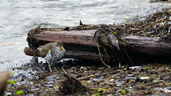 Spotted Sandpiper, Miller Creek, 05/19/18 (TonyM1956) Tags: elements sonyphotographing sonyalphadslr tonymitchell