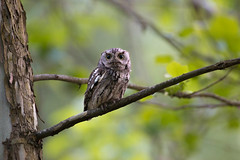 20180520_Eastern Screech Owl_0001 (macson.mcguigan) Tags: bridgewater easternscreechowl megascopsasio screechowl va wildwoodpark bird birdofprey evening night nocturnal outdoors owl raptor slowshutter virginia