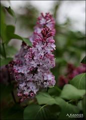 Lilacs... (angelakanner) Tags: canon70d 50mmlens lilacs longisland garden heavenly aroma lavender closeup