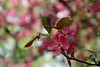 IMG_2215 (Joan van der Wereld) Tags: spring nature flowers blossoms blossoming tree pink green twog