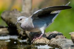 x3D40_3688 (Eyas Awad) Tags: tortoraselvatica streptopeliaturtur bird birds birdwatching wildlife nature eyasawad nikond4 nikond500 sigma500f45 nikonafs300mmf4