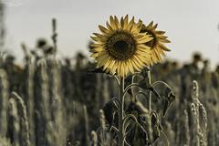 *** (anastasia.markova) Tags: crimea nikon nikond3100 summer green grass sunflower flowers flower sunset yellow bokeh sagebrush summertime july