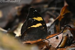1032-3.jpg (laba laba) Tags: euriphene abasa euripheneabasa africa cameroon cameroun kribi mabenanga rainforest nature macro closeup butterfly insect