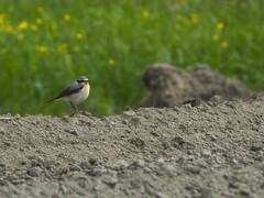 P4260074 (turbok) Tags: steinschmätzeroenantheoenanthe tiere vögel wildtiere c kurt krimberger