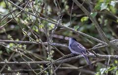 9Q6A0909 (2) (Alinbidford) Tags: alancurtis alinbidford blackcap brandonmarsh nature wildbirds wildlife