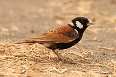 Chestnut-backed Sparrow-Lark (markus lilje) Tags: markuslilje bird birds birding namibia lark chestnutbackedsparrowlark eremopterixleucotis male
