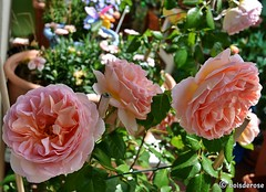 "My Roses 💚  ""Abraham Darby"" (boisderose) Tags: rosa rose roses myroses onmyterrace abrahamdarby davidaustinroses englishroses roseinglesi aprile april primavera spring 2018 boisderose"