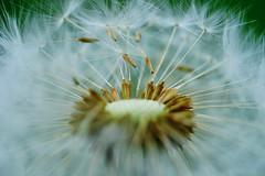Wünsch dir was (!ProPixel!) Tags: macro dreamland series sony a7mll makro fullframe bokeh pusteblume natur wish nature explore sharp fe 90mm f28 g oss ilce7m2 flower light wind fly