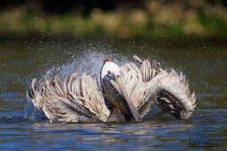 splashin brown pelican
