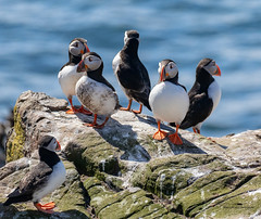 """A Cicus of """"Tommy Noddy's"""" aka Puffins (Ratters1968: Thanks for the Views and Favs:)) Tags: canon dslr photography digital eos canon7dmk2 martynwraight ratters 1968 wildlife birds animal flight flying nature beauty northumberland farnefarneislandswildlifenaturenationaltrustinnerfarne puffin puffins circus gathering burrow puffinry improbability"""
