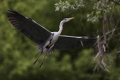 RAW (carlo612001) Tags: airone natura animali uccelli heron nature animals birds wildlife