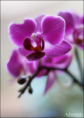 Minis... (angelakanner) Tags: canon70d yongnuo 50mmlens orchid indoorplant purple mini flowers longisland
