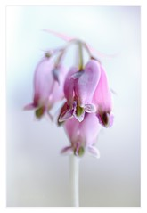 Romantic hearts (Krasne oci) Tags: romantichearts macro pinkflowers nature gardening evabartos photographicart artphotography fineart bleedingheart love romance elegant classy soft pink pastel