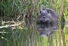 Ragondin (Myocastor coypus) (aurelien.ebel) Tags: alsace animal basrhin coypu france lawantzenau mammalia mammals mammifère myocastorcoypus myocastoridae myocastoridé ragondin rodentia rongeur