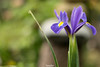 Dopo la pioggia - Dettagli di un Iris (Francesca Murroni ┃Wildlife Photographer) Tags: iris waterdrops water rain garden flowers blue yellow macro closeup nature sardinia italy
