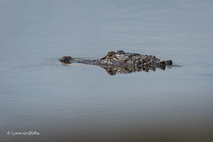 Silent but deadly 500_6284.jpg (Mobile Lynn) Tags: reptiles nature alligator fauna reptile wildlife apopka florida unitedstates us