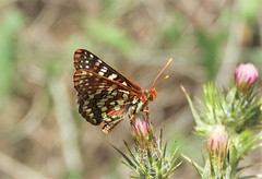 Variable or Common Checkerspot, euphydryas chalcedona. (Ruby 2417) Tags: checkerspot butterfly insect wildlife nature animal orange stebbins california