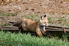 20180507-IMG_8467 I originally thought this was a kit but now realize it's probably mama (grammiev) Tags: fox kit young spring alberta