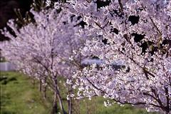 Mountain cherries (threepinner) Tags: cherry blossoms spring mikasa hokkaidou hokkaido northernjapan japan pentax me tokina rmc 135mm f35 negative iso100 selfdeveloped negaposidevelopment reversal 岡山 三笠 北海道 北日本 日本 エゾヤマサクラ