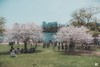 Hight Park (2018)-4 (nicksam.ca) Tags: nicksam368 nicksam canon toronto highpark cherry cherryblossom hot new camera photographer top urban park trees flowers flower nice cool art nature sakura