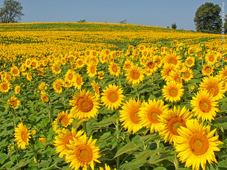 Sunflowers at Grinter Farms, 31 Aug 2017