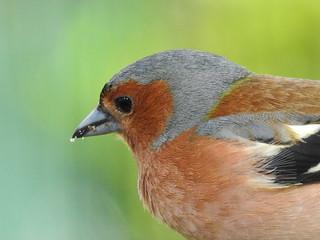 Chaffinch ♂ (Fringilla coelebs)