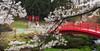 Hachimantai Spring (jasohill) Tags: 2018 glow spring flowers tohoku blossom city iwate red sunset sakura bridge tree photography beautiful hachimantai pink matsuo life fierce cherry shidare rain japan fire