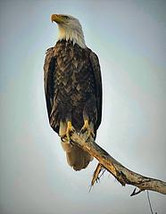 American Pride (silveradoman03) Tags: baldeagles nature wildlife eagle nikon d5300 tamron200500