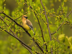 Cedar Waxwing.... (Kevin Povenz Thanks for all the views and comments) Tags: 2018 may kevinpovenz westmichigan michigan ottawa ottawacounty ottawacountyparks grandravinesnorth bird wildlife nature songbird spring canon7dmarkii sigma150500 green outside outdoor outdoors