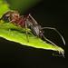 Ferruginous Carpenter Ant - Camponotus chromaiodes, Prince William Forest Park, Triangle, Virginia