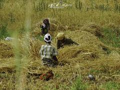 DESCASQUE_ARROZ_DE_SOL_A_SOL_ENTRE_LAGOS_MOÇAMBIQUE (paulomarquesfotografia) Tags: paulo marques sony hx400v entrelagos moçambique mozambique pessoas people rice arroz descasque rural campo field cultura tradição agricultura trabalho work
