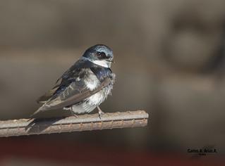 Golondrina - Pygochelidon cyanoleuca-BLUE AND- WHITE SWALLOW