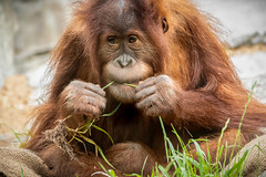 Snacking on Greens (helenehoffman) Tags: conservationstatuscriticallyendangered greatape wildlife aisha primate mammal indonesia orangutan sandiegozoo pongoabelii nature sumatra enrichment animal