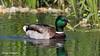 Mallard Duck (M) (DougRobertson) Tags: nature ninesprings yeovil somerset duck mallard animal wildlife water waterfowl bird birdwatcher coth5