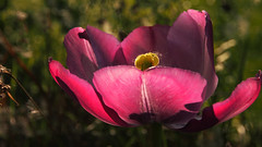 forgotten tulip (Ostseeleuchte) Tags: tulip flower 2018 spring sun sunhsine blossom