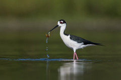 Look What I Found! (PeterBrannon) Tags: bird blackneckedstilt florida himantopusmexicanus longlegs marsh nature wadingbird water wildlife clam morning