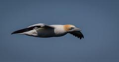 Gannet at Bempton Cliffs, England. (pitkin9) Tags: bird seabird gannet flight nature wildlife bemptoncliffs eastyorkshire england