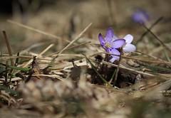 hépatiques (bulbocode909) Tags: valais suisse montagnes nature fleurs printemps montchemin hépatiques