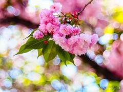 櫻花泡泡III 菊櫻 (紅襪熊(・ᴥ・)) Tags: olympus omd em1 m43 micro43 microfourthirds olympusem1 pentacon av 2880 pentaconav2880 80mm f28 pentaconav80mm28 80mmf28 bokeh sakura 櫻 櫻花 cherryblossoms pink flower flowers blossom blossoms castle cherry cherryblossom cherryblossomfestival cherrytree cherrytrees garden light macro nature park plant sky spring travel tree trees white さくら サクラ 春 桜 花 花見 賞櫻 日本 japan 粉 粉紅 造幣局 大阪造幣局 osaka