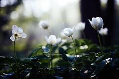 bosanemoon (Jos Mecklenfeld) Tags: bosanemoon woodanemone buschwindröschen forest bos wald nature natur natuur flowers blumen bloemen sonya6000 sonyilce6000 minoltamdwrokkor35mmf28 minoltamd minoltalens minolta anemonenemorosa rokkor fujiprovia400x terapel groningen netherlands nl