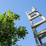 Orange blossom ladder thumbnail