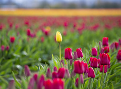 Yellow in the Red (s.d.sea) Tags: tulips skagit valley tulip festival flowers flower floral grow nature plant plants garden farm field cloudy pnw pacificnorthwest washington washingtonstate mount vernon landscape pentax k5iis colorful roozengaarde spring april travel